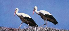 Gólyapár. Népünk kedvelt madara a sokszor megverselt gólya